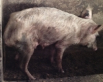 Malnourished 8 month sow